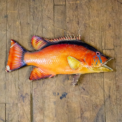 Orange Fish Mount