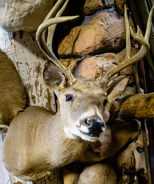 Taxidermy Deer Head