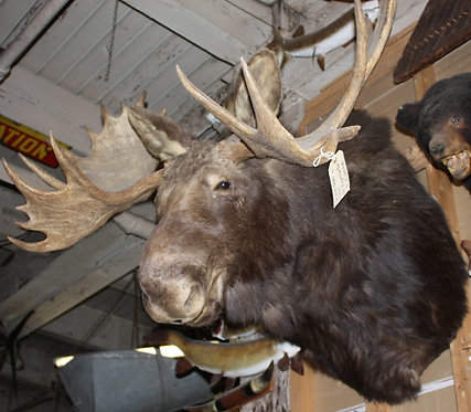 Taxidermy Moose
