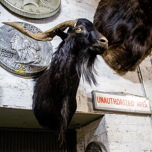Taxidermy Black Goat