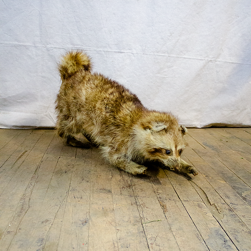 Taxidermy Pouncing Raccoon