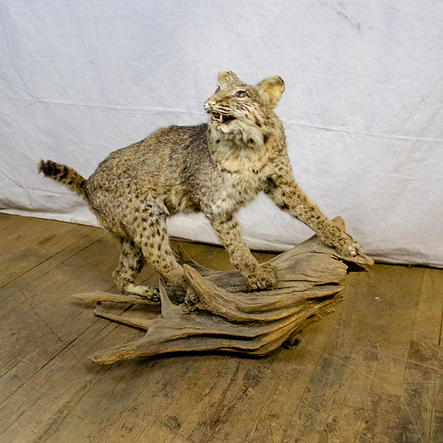 Taxidermy Wildcat on Log