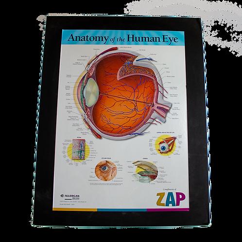 Anatomy of a Human Eye Optometry Poster