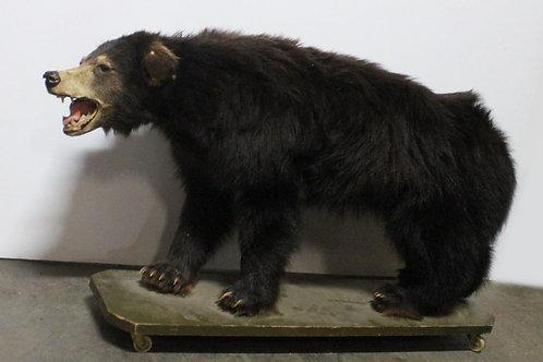 Taxidermy Bear Cub