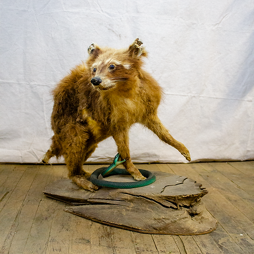 Taxidermy Raccoon on Wood