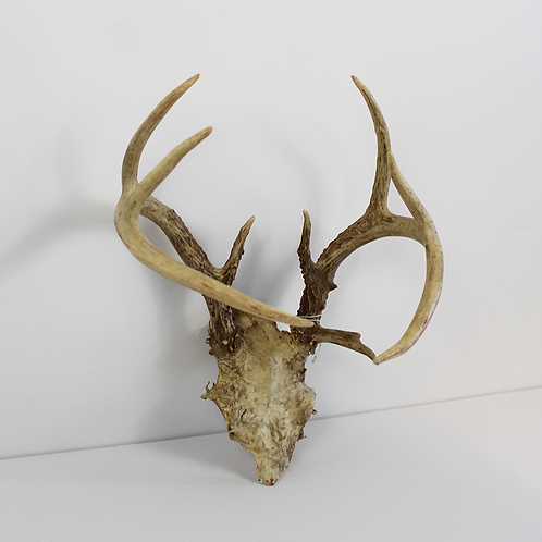 9 Point Antlers on Skull