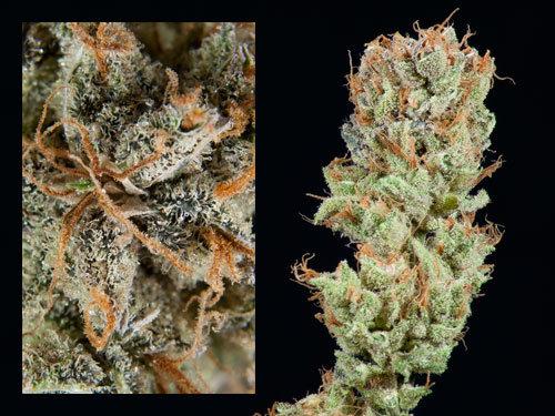 Super Lemon Haze | Sativa-Dom |  THC 23%
