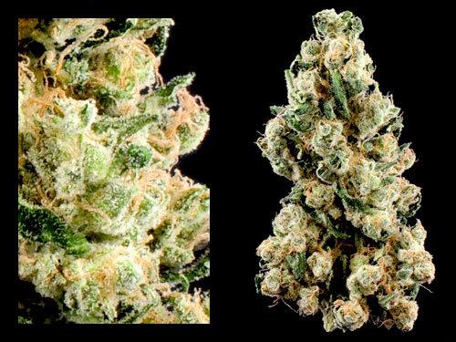 Sour Diesel | Sativa-Dom |  THC 22%
