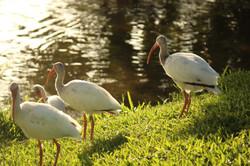 White Ibis Flock