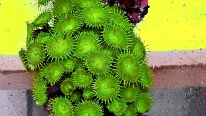 Palythoa Green