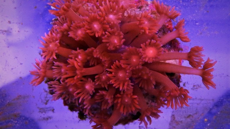 Goniopora Blood Red