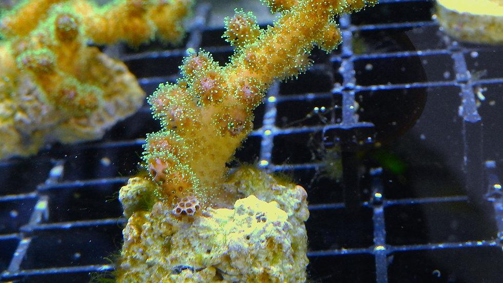 Pocillopora Damicornis Tricolor 2