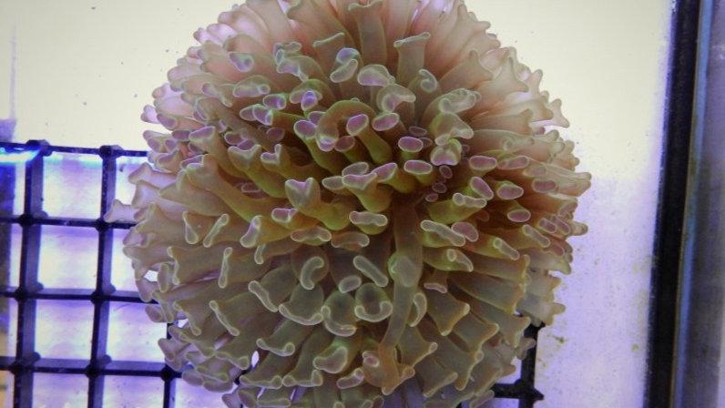 Euphyllia Parancora pearl/magenta