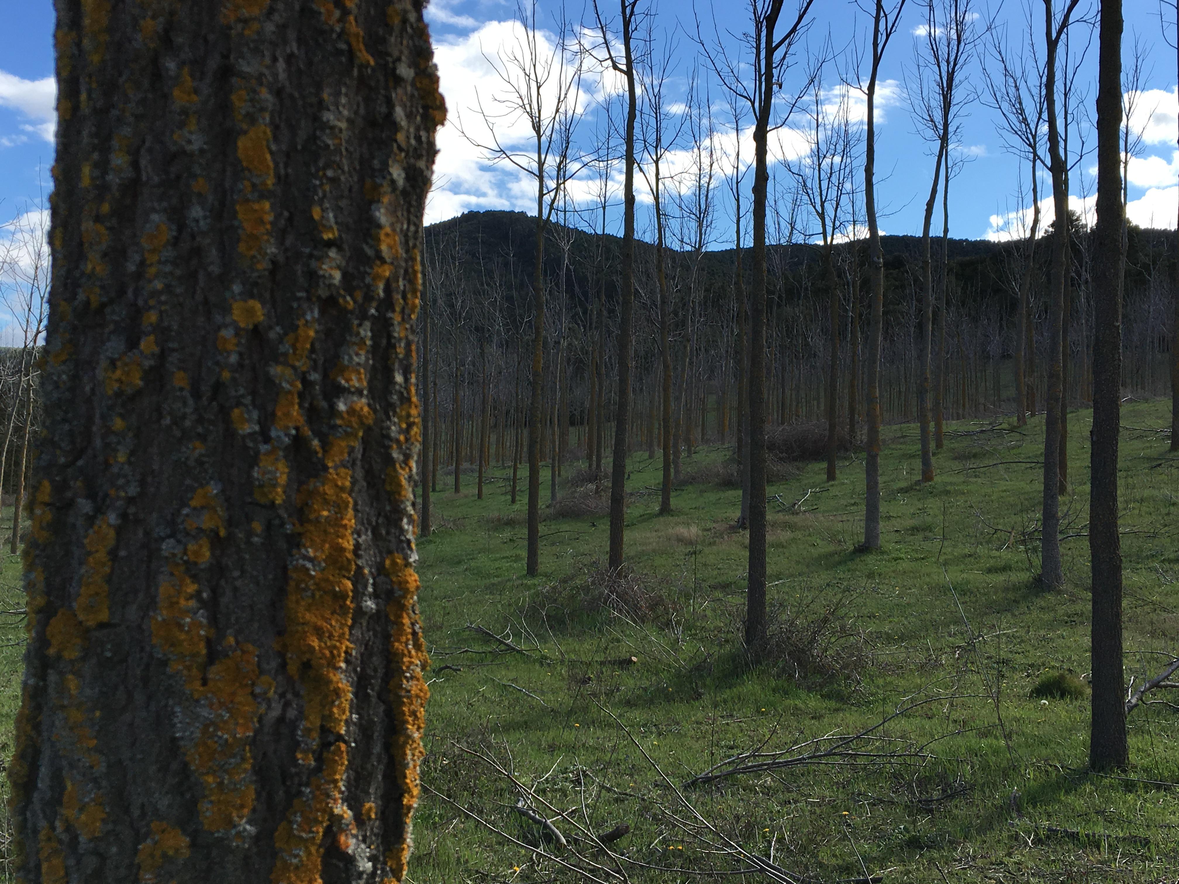 Plantación de nogal de madera