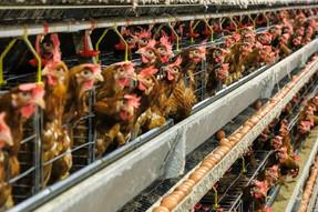Sinergia Animal y Asociación de Consumidores presentan proyecto de ley de etiquetado de huevos