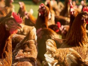 União Europeia estabelece bem-estar animal como condição para comércio com Mercosul