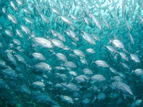 ONGs pedem por melhores padrões de bem-estar para peixes e redução do consumo de animais aquáticos