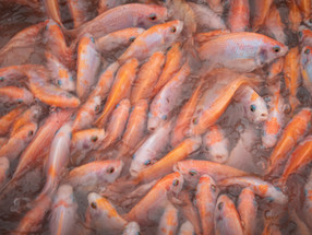 Global campaign raises awareness about the impacts of fish farms