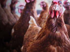 Food Passion announces cage-free egg policy for Thailand
