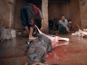 Actress Richa Chadda narrates video exposing cruelty against buffalo calves in India
