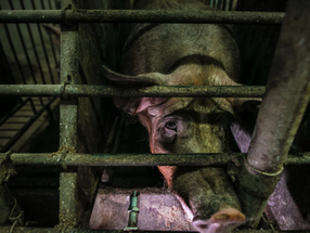 World Bank urged to give up plans of financing Ecuador's largest factory farm