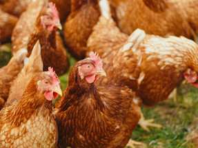 Le Pain Quotidien expands its cage-free commitment to Colombia
