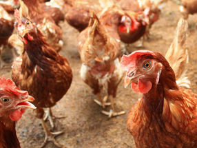 OFC announces a cage-free policy