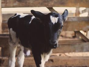 Projeto de lei em SP visa proibir o descarte de bezerros na indústria leiteira