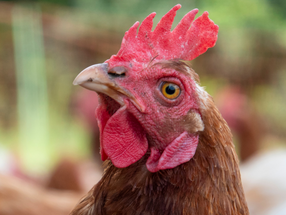 Chilean premade food chain Fork joins the cage-free movement