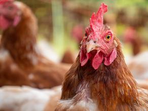 Dona do KFC, Pizza Hut e Taco Bell anuncia compromisso global livre de gaiolas na produção de ovos