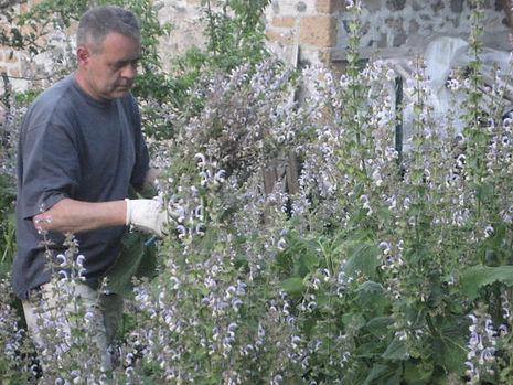 Raccolta fiori di Salvia Sclarea Bio