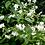 Thumbnail: 5 fleurs de seringat    broche