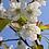 Thumbnail: Branche de cerisier    broche