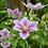 Thumbnail: Fleur de clématite    broche
