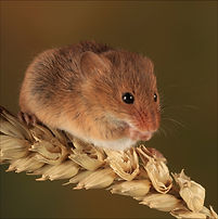 Mouse coaster brown on corn.jpg