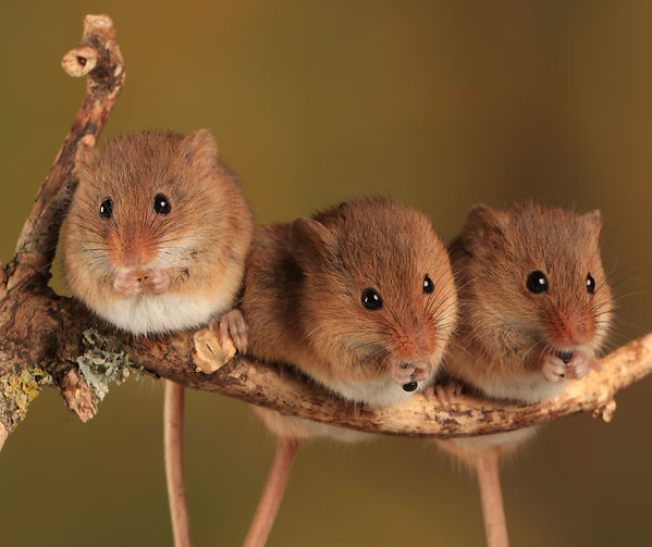 Tablemat 3 mice.jpg