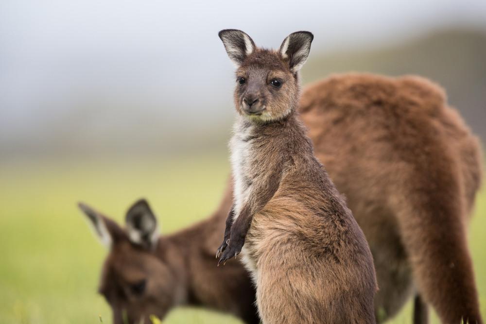 Kangaroo Island, Kangaroo, Travel to Australia