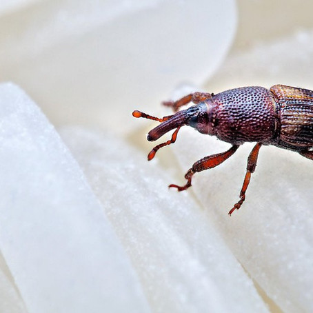 Infestation of Weevils into your cereals and how?