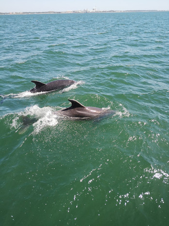 Dolphins swimming next to the Green Dolphin