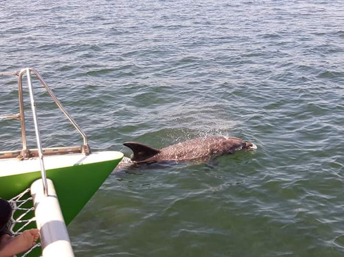 Dolphins under the bows of the Green Dolphin