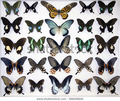 cased-collection-exotic-butterflies-600w