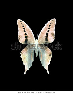 taxidermy-dotted-swallowtail-butterfly-n