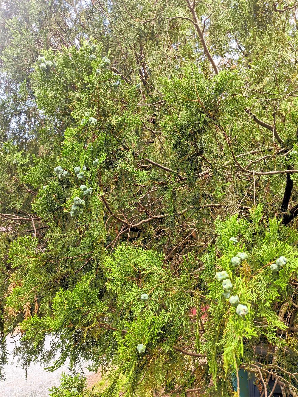 Juniper tree full of berries