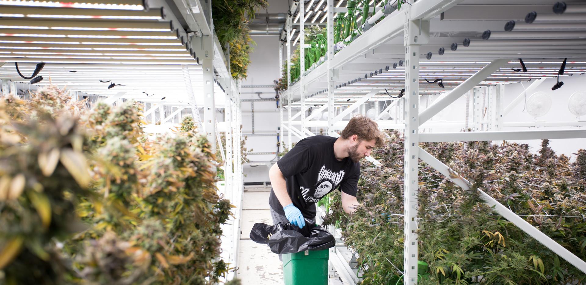 Cannabis Grow Facility Increase Yield Ac