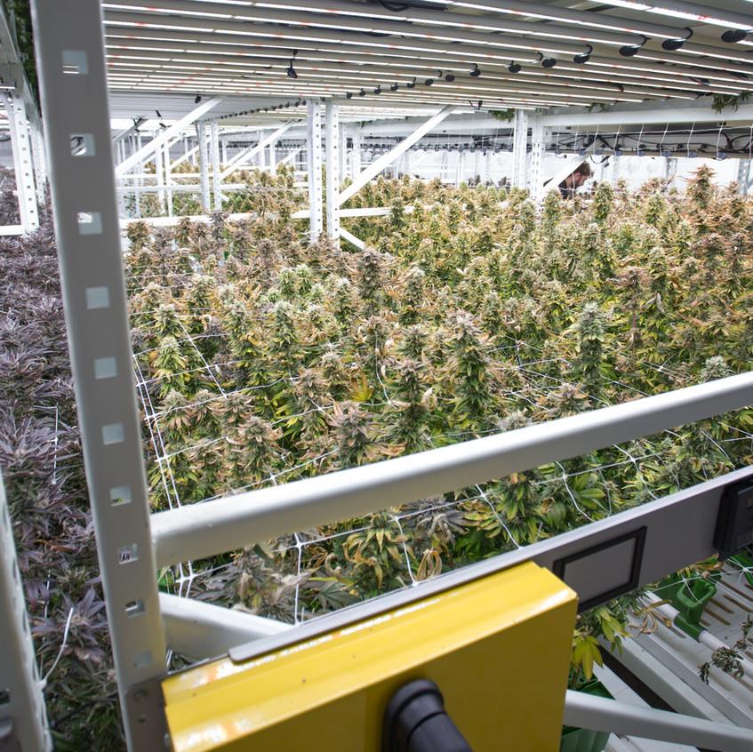 Cannabis indoor farming