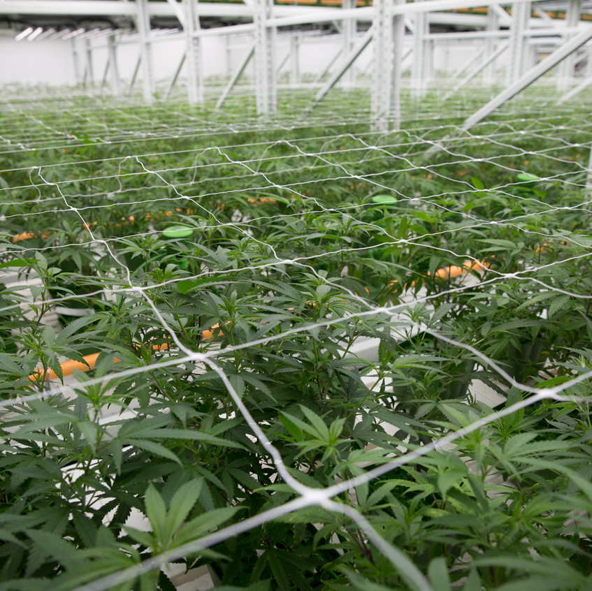 Cannabis trellises help keep the plants from sprawling into the aisles
