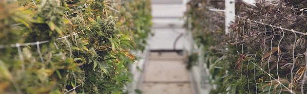 [Case Study] High-yield cannabis grow fa