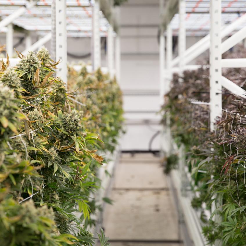Cannabis grow increase yields