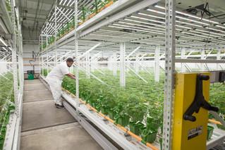 High-Yield Cannabis Grow Facility