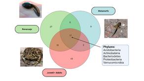 COMUNIDADES MICROBIANAS EN LA PIEL DE ANFIBIOS: ROL Y PERSPECTIVAS
